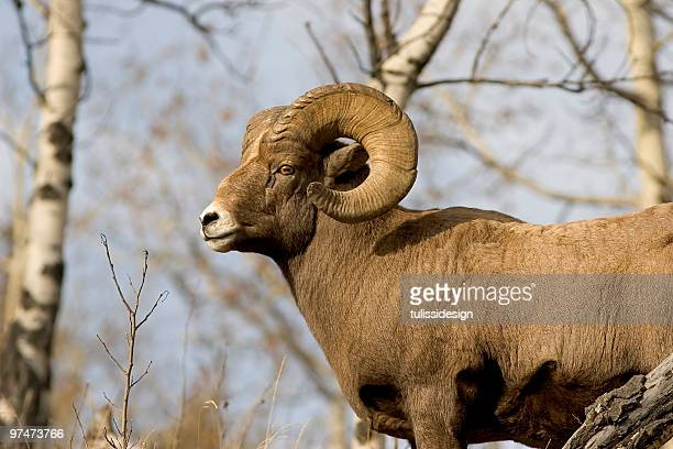 bighorn sheep - ram animal stock photos and pictures