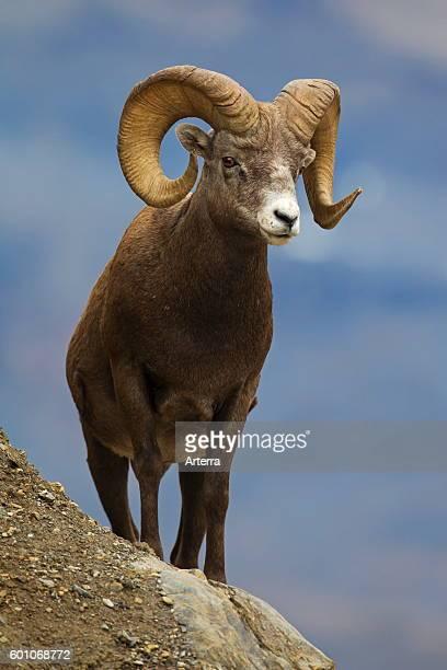 Bighorn sheep ram Jasper National Park Alberta Canada