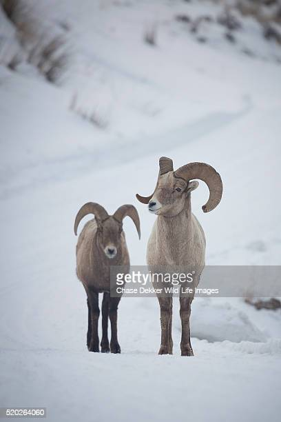 bighorn sheep rams - file:bighorn,_grand_canyon.jpg stock pictures, royalty-free photos & images