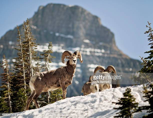 Bighorn Sheep stand in a snowfield at Logan Pass in Montanas Glacier National park.