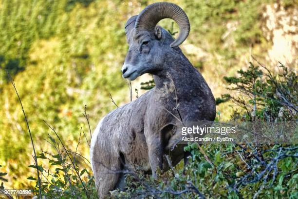 Bighorn Sheep Standing On Hill