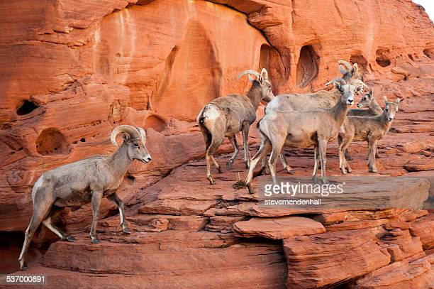 Bighorn sheep walking on rocks, Valley of Fire State Park, Nevada, America, USA