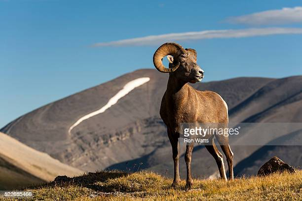bighorn sheep wilcox pass - file:bighorn,_grand_canyon.jpg stock pictures, royalty-free photos & images