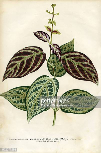 Bignonia Argyro Violacea South America Illustration by P Stroobant and lithograph by L Stroobant from Revue de l'Horticulture Belge et Etrangère...