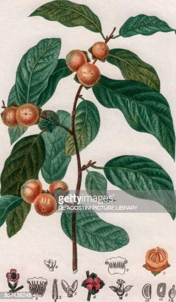 Bignonia lactiflora colour copper engraving retouched in watercolour 9x15 cm from Dizionario delle scienze naturali compilato da vari professori del...