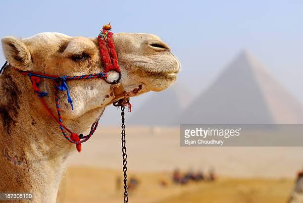 bij_2875a: pyramids & camel - cairo stock pictures, royalty-free photos & images