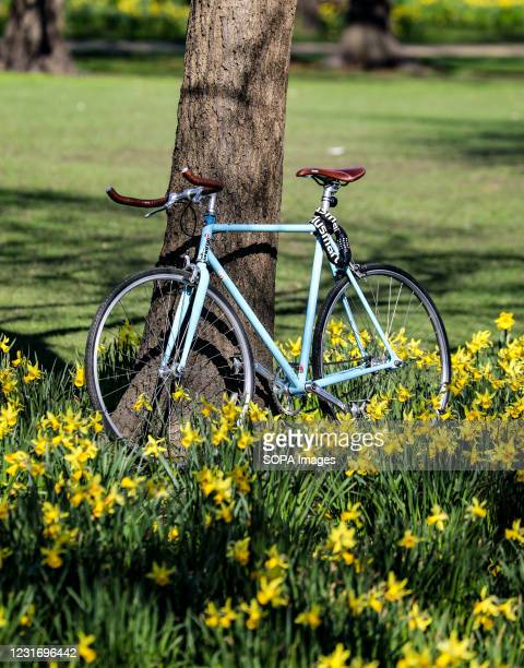 Bike stands against a tree surrounded by daffodils in St James' Park.