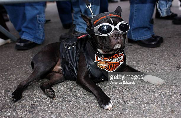 Biker Dog 'Bandit' poses at the Love Ride 20 at HarleyDavidson/Buell of Glendale on November 9 2003 in Glendale California The yearly motorcycle...