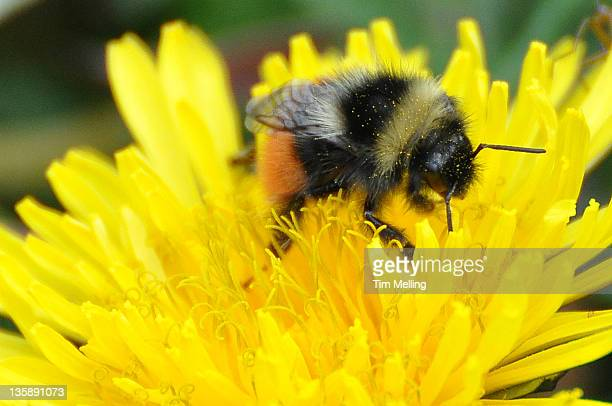 bilberry bumblebee drowning in dandelion - bumblebee stock pictures, royalty-free photos & images