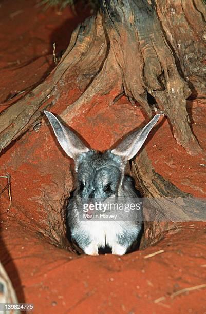 Bilby, Macrotis lagotis. Rabbit-sized marsupial. Endangered. Australia