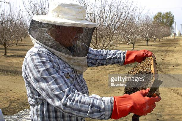 Bill Mathewson a beekeeper from Bakersfield inspects a beehive in an almond orchard in Wasco California US on Friday Feb 20 2009 Colony Collapse...