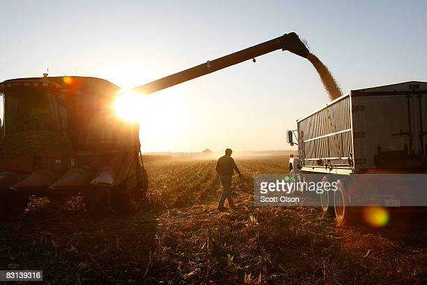 Bill Raben loads a grain truck as he helps to harvest corn on land he farms with his brother October 4 2008 near Carmi Illinois Raben's family has...