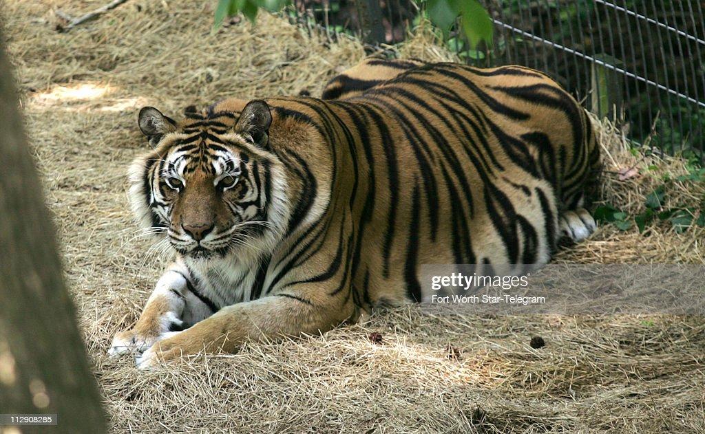 Bill Rathburn, former Dallas police chief, has five tigers a : News Photo