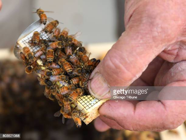 Bill Whitney of City Bee Savers holds a queen cage as other bees are attracted to the queen's pheromone on the roof of 540 W Madison an office...