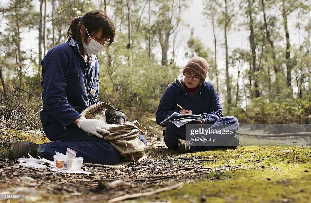 Billie Lazenby of the Tasmanian Department of Primary Industries, Water and Environment and Sofia Ibarraran study a Tasmanian Devil in order to monitor the population and disease dynamics of Devils in the wild October 10, 2005 near Fentonbury, Australia. The Devil, a native marsupial unique to Tasmania, is under threat from Devil Facial Tumor Disease (DFTD) which is decimating numbers throughout Tasmania. Several devils are being monitored under quarantine situations on the mainland, while another group have been moved to Maria Island, to form an 'insurance population' should the disease spread. The Devils have just been listed as a 'vulnerable' species due to the disease.