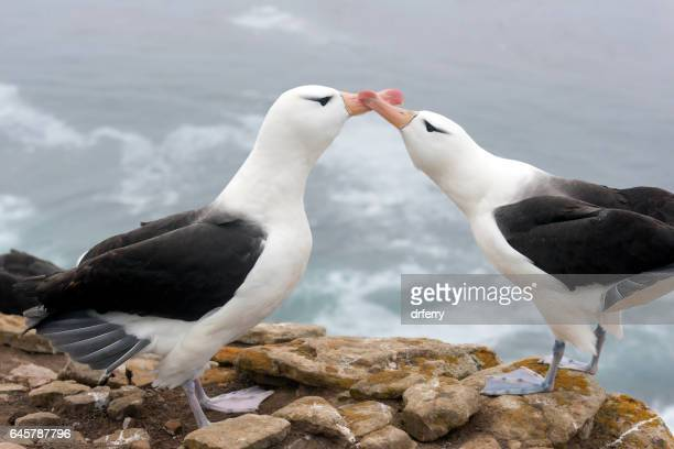 bill-to-bill mating gestures of black-browed albatross - albatross stock pictures, royalty-free photos & images