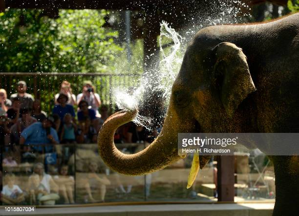 Billy a 10 year old Asian elephant enjoys the cool waters as he waits for a treat from zookeeper Dani Lints not shown during a demonstration for the...