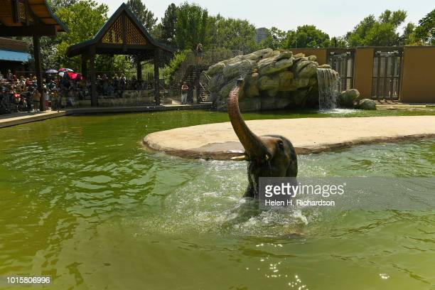 Billy a 10 year old elephant enjoys the cool waters as he waits for a treat from zookeeper Dani Lints not shown during a demonstration for the public...
