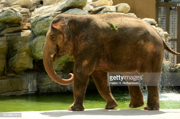 Billy a 10 year old elephant walks toward zookeeper Dani Lints not shown for a demonstration for the public on working with elephants to mark World...