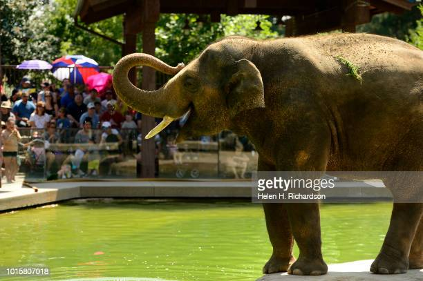 Billy a 10 year old elephant with a packed audience watching gets ready to get in the water during a demonstration for the public on how zookeepers...