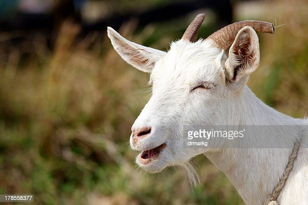 A white billy goat that looks like he is smiling.