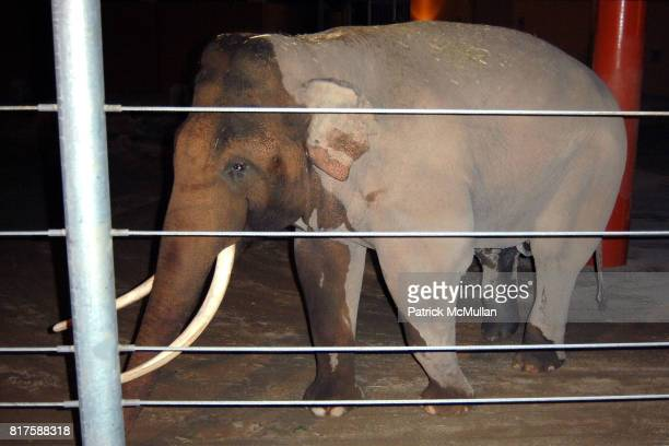 Billy the Asian Elephant attends LA Zoo Elephants of Asia Under the Stars at Los Angeles Zoo on December 15 2010 in Los Angeles California