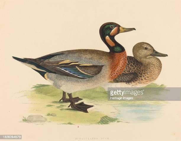 Bimaculated Duck, 1855. Artist Unknown.