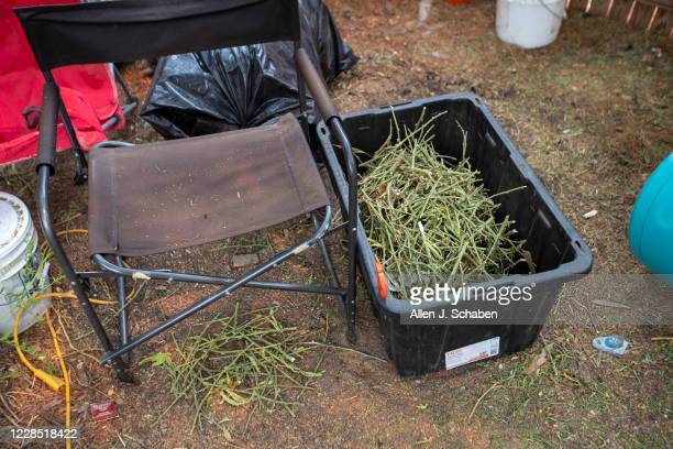 A bin full of cut marijuana stems is among debris on the property where seven people were shot to death over Labor Day weekend at an illegal...