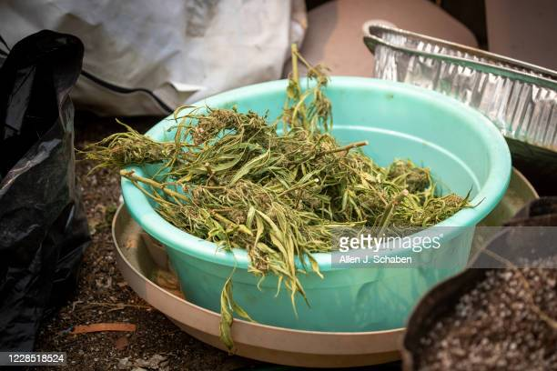 A bin full of marijuana is among debris near a makeshift grow shelter on the property where seven people were shot to death over Labor Day weekend at...
