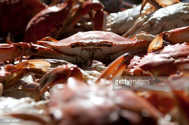 A bin holding hundreds of pounds of freshly steamed crabs cools off for processing at the AE Phillips Inc plant in Fishing Creek MD July 22 2010 The...