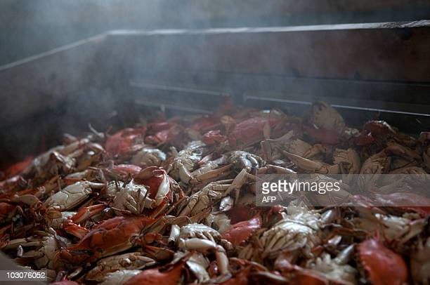 A bin holding hundreds of pounds of freshly steamed crabs cools off for future picking at the AE Phillips Inc plant in Fishing Creek MD July 22 2010...