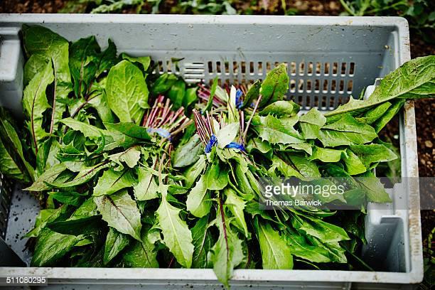 bin of freshly harvested organic dandelion greens - feuille de pissenlit photos et images de collection