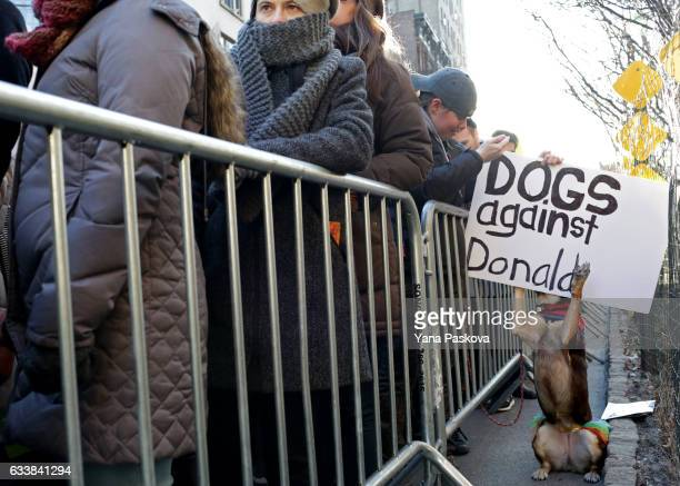 Bindi a Kelpie dog jumps up toward a sign reading 'Dogs against Donald' at an LGBT Solidarity Rally in protest of the Donald Trump Administration in...
