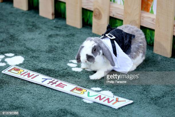 Bini the Bunny attends the premiere of 'Peter Rabbit' sponsored by Cost Plus World Market at The Grove on February 3 2018 in Los Angeles California