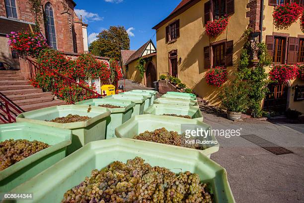 Bins filled with harvested grapes