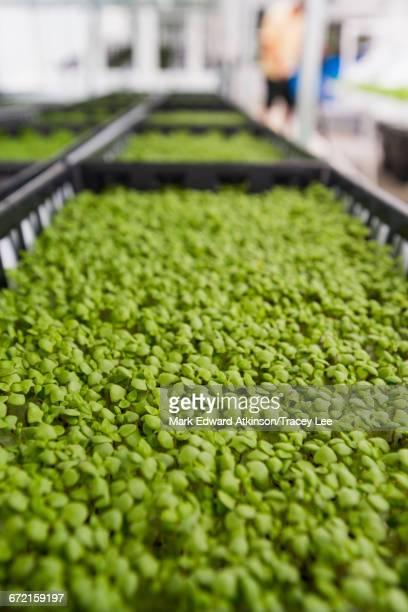 Bins of green plants in greenhouse