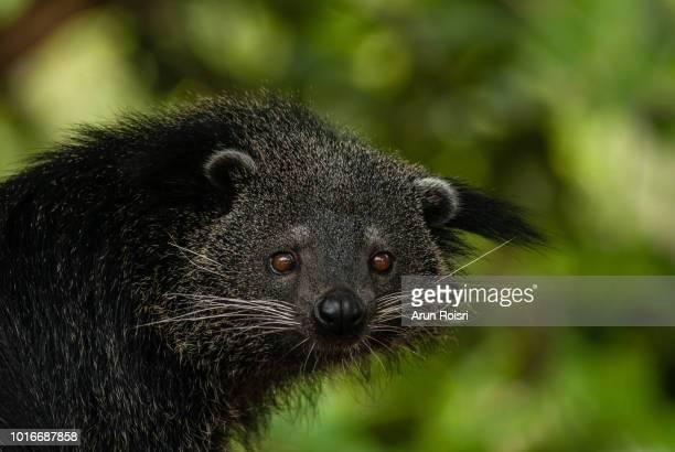 binturong, bearcat : arctictis binturong - civet cat stock photos and pictures