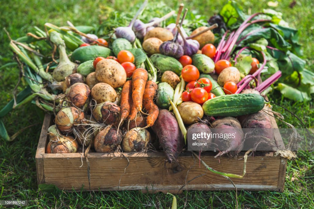 Bio food. Garden produce and harvested vegetable. Fresh farm vegetables in wooden box : Stock Photo