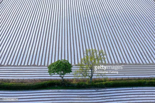 Biodegradeable polyester sheeting covers a maize crop on May 16, 2020 in Rhyl, Wales. Agricultural operations in the UK have been able to continue...
