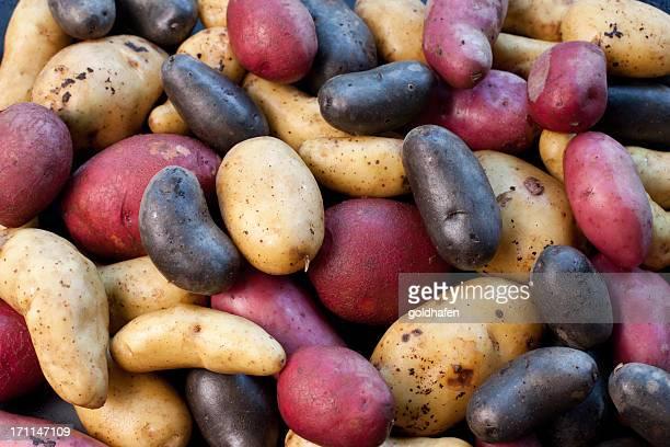 biodiversity - variety of potatoes - rauwe aardappel stockfoto's en -beelden