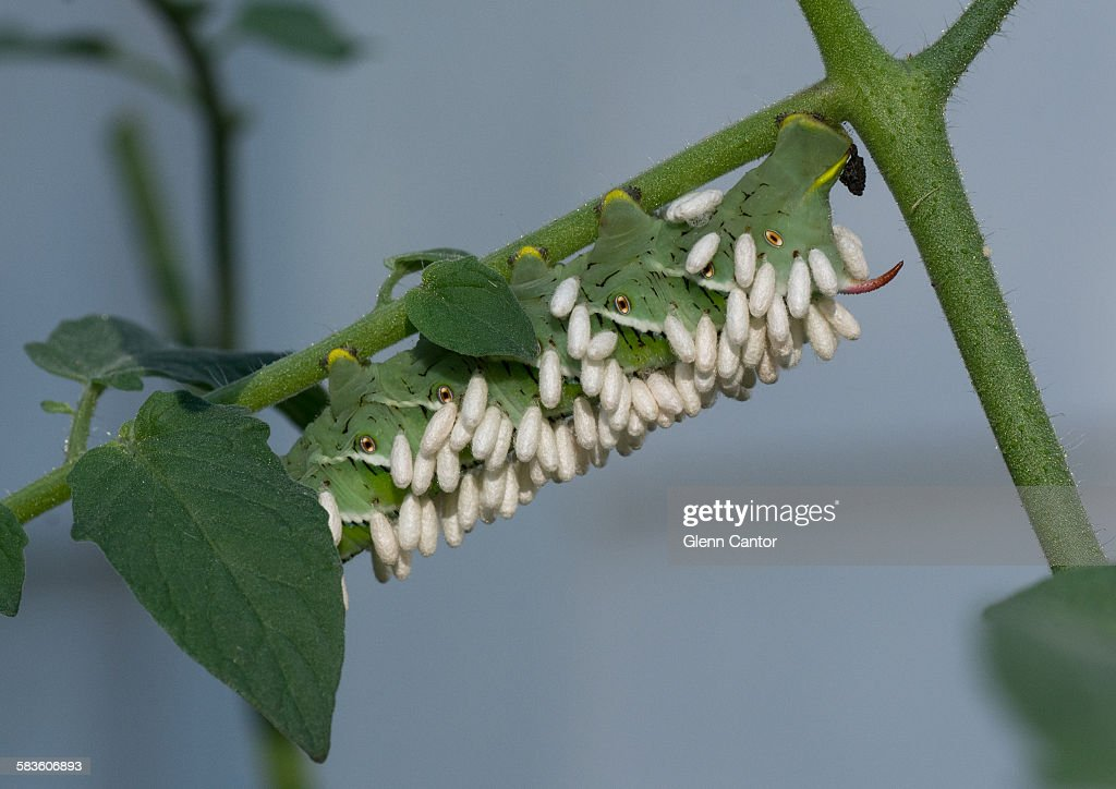 Biological control of a tomato pest : Stock Photo