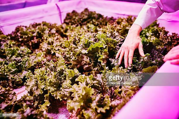 Biological engineer examining organic lettuce