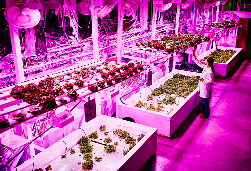 Biological engineer in pink LED greenhouse - gettyimageskorea