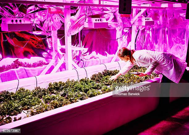 Biological engineer in pink LED greenhouse