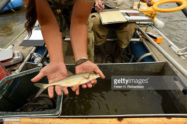 Biological technician Jen Herdmann holds up a small native Bonytail fish that she had momentarily taken out of the river during a day of...