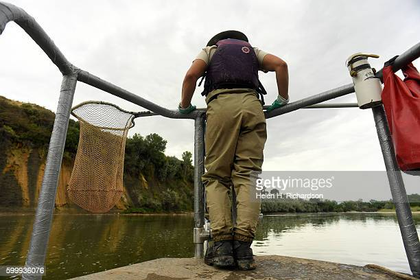 Biological technician Jen Herdmann uses a net to grab stunned fish on the bow of the raft during a day of electrofishing along the 18 Mile Reach of...