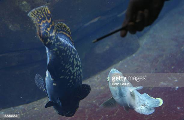 Biologist Benjamin Ibler points to a Grants grouper fish at the aquarium during the annual animal inventory at Zoo Berlin zoo on December 12 2012 in...
