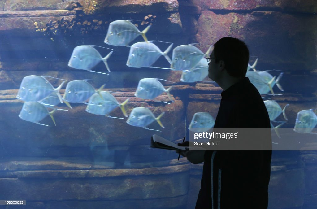 Biologist Benjamin Ibler watches a school of lookdown fish swim by at the aquarium during the annual animal inventory at Zoo Berlin zoo on December 12, 2012 in Berlin, Germany. The zoo conducts the once-a-year inventory over a period of several months, depending on the species, to assess such factors as the state of animal colonies, the presence of foreign species and the true number of species and their members.