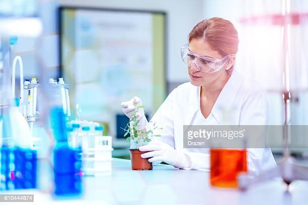 Biologist examining GMO plant