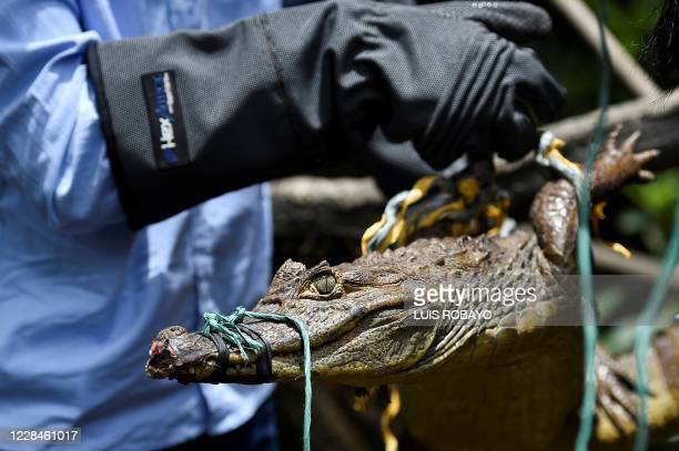 Biologist of the regional environmental entity CVC, holds a small crocodile during his release in a rural area of Buenaventura, Colombia, on...